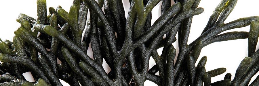 Algas frescas - Suralgas