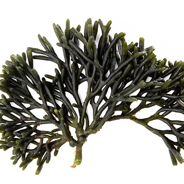Codium - Suralgae